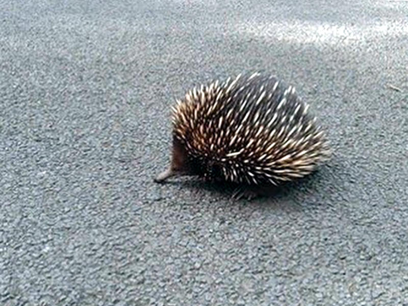 beach and bush walking at depot beach, Echidna crossing the road