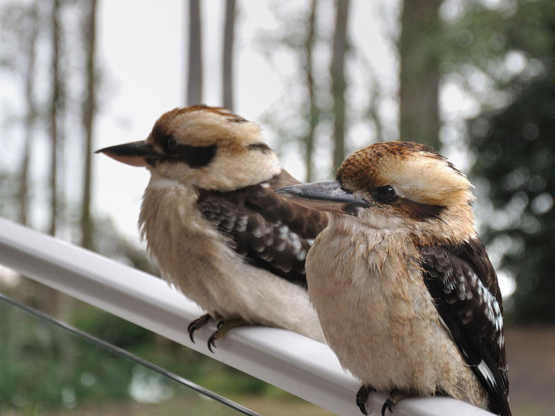 bird and wildlife watching at depot beach, Kookaburras on Deck