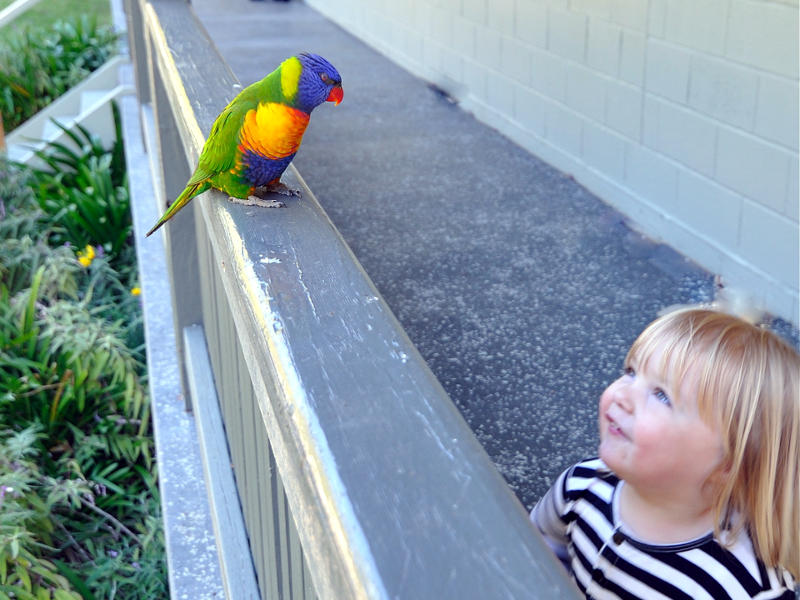 bird and wildlife watching at depot beach, Rainbow Lorikeet meets Annie